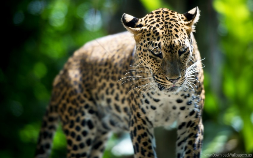 free PNG leopard, predator, walk wallpaper background best stock photos PNG images transparent
