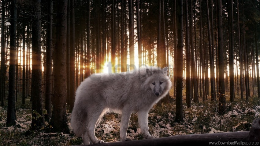 free PNG light, predator, rays, wolf, wood wallpaper background best stock photos PNG images transparent