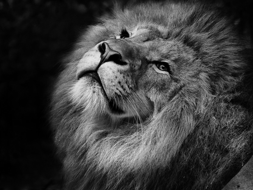 free PNG lion, bw, muzzle, king of beasts, mane background PNG images transparent