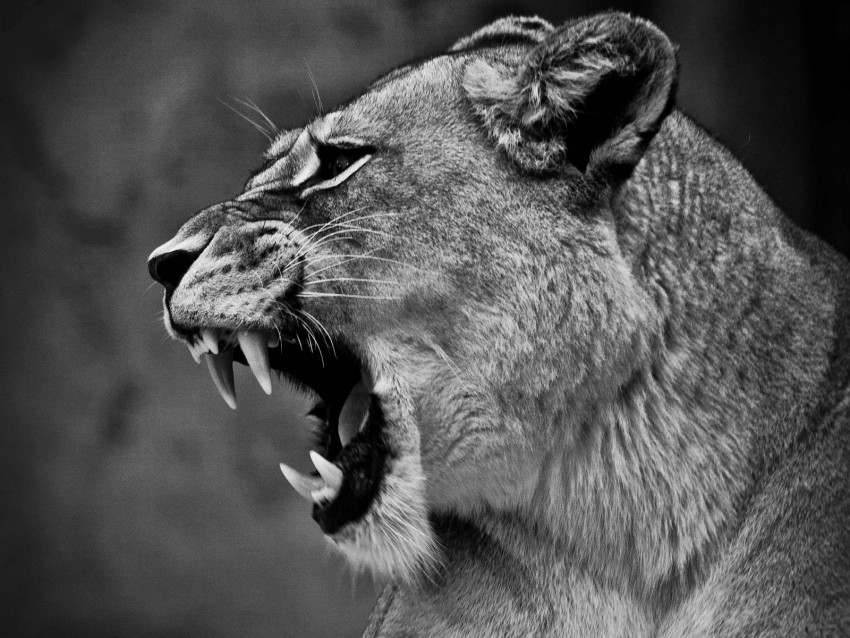 free PNG lion, lioness, grin, bw, predator, big cat background PNG images transparent