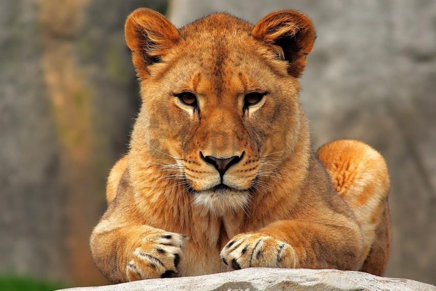 free PNG lion, lioness, predator, sit wallpaper background best stock photos PNG images transparent