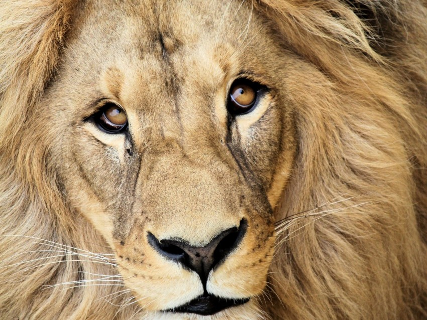 free PNG lion, muzzle, mane, predator, king of beasts, king background PNG images transparent