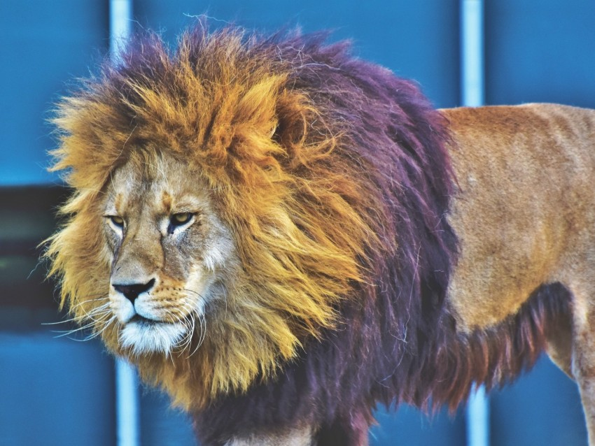 free PNG lion, predator, king of beasts, mane, serious background PNG images transparent