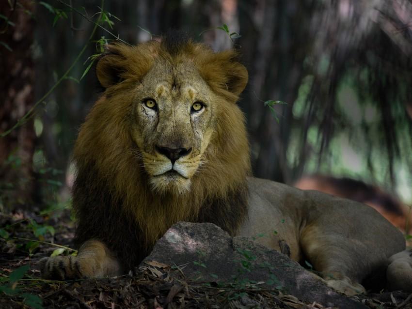 free PNG lion, predator, mane, king of beasts, big cat background PNG images transparent