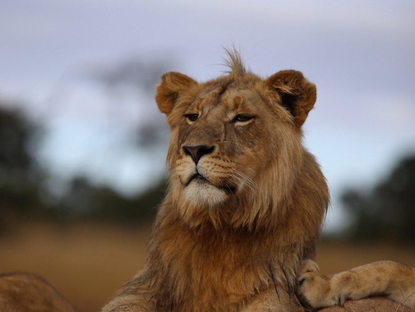 free PNG lion, savannah, wildlife, glance, proud, predator background PNG images transparent