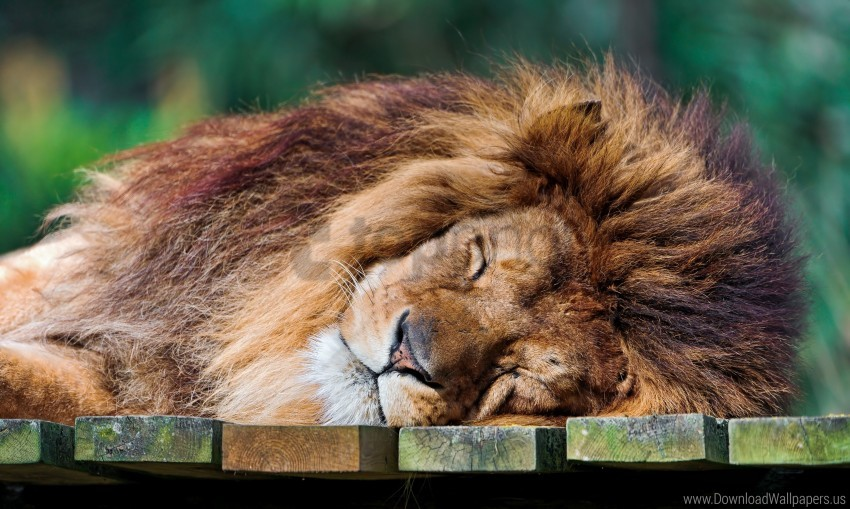 free PNG lion sleeping lion, the king of beasts, the predator wallpaper background best stock photos PNG images transparent