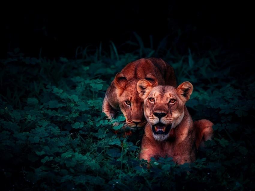 free PNG lions, cubs, wildlife, glance background PNG images transparent