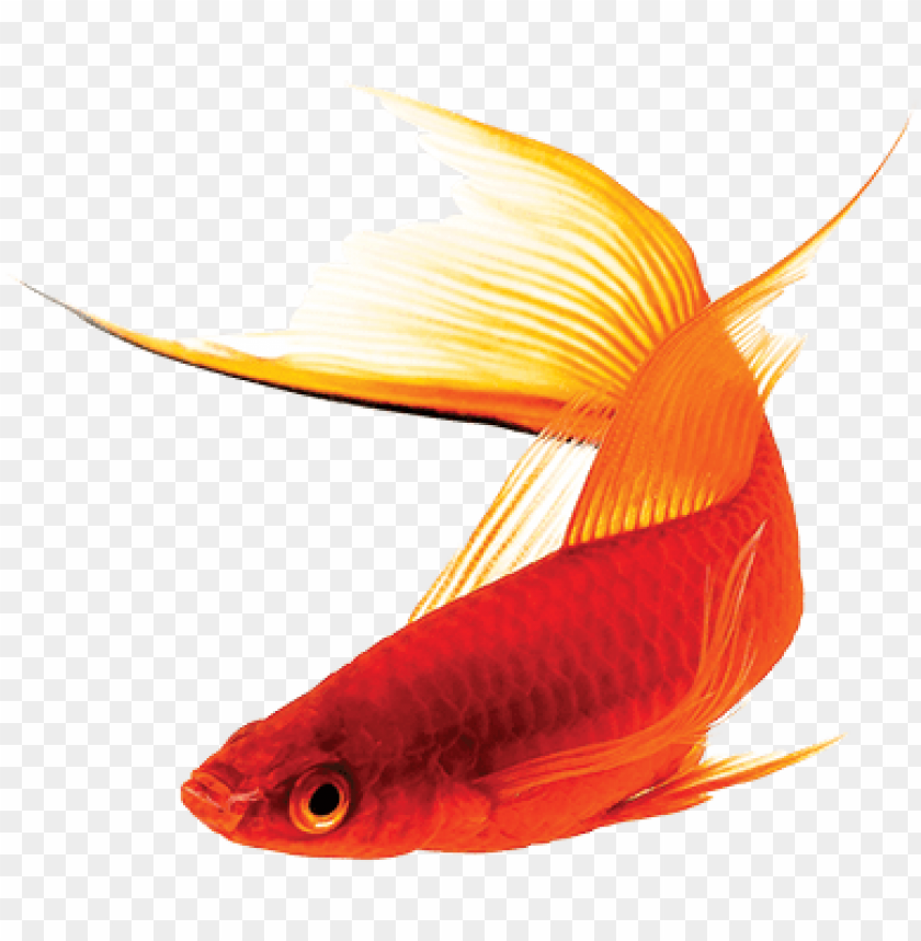 Livebearer Care Sheet Guppy Fish Png Image With Transparent Background Toppng It has a resolution of 909x1024 pixels and. livebearer care sheet guppy fish png