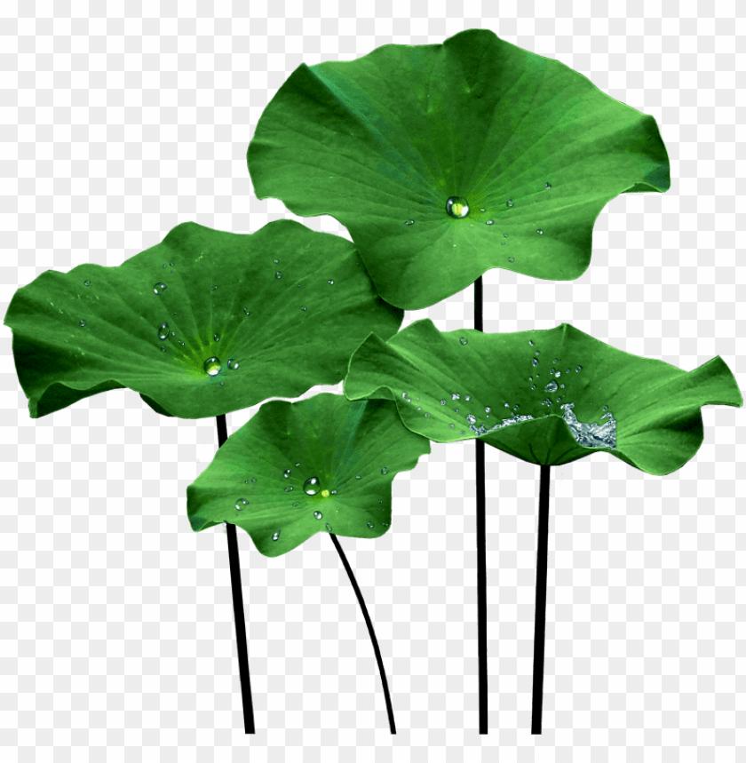 free PNG lotus leaf png - lotus leaf PNG image with transparent background PNG images transparent