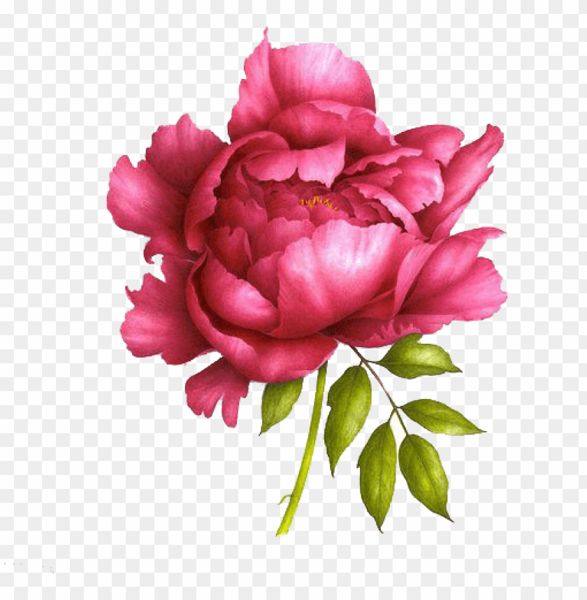 free PNG love peonies like this for tattoos - realistic peony drawi PNG image with transparent background PNG images transparent