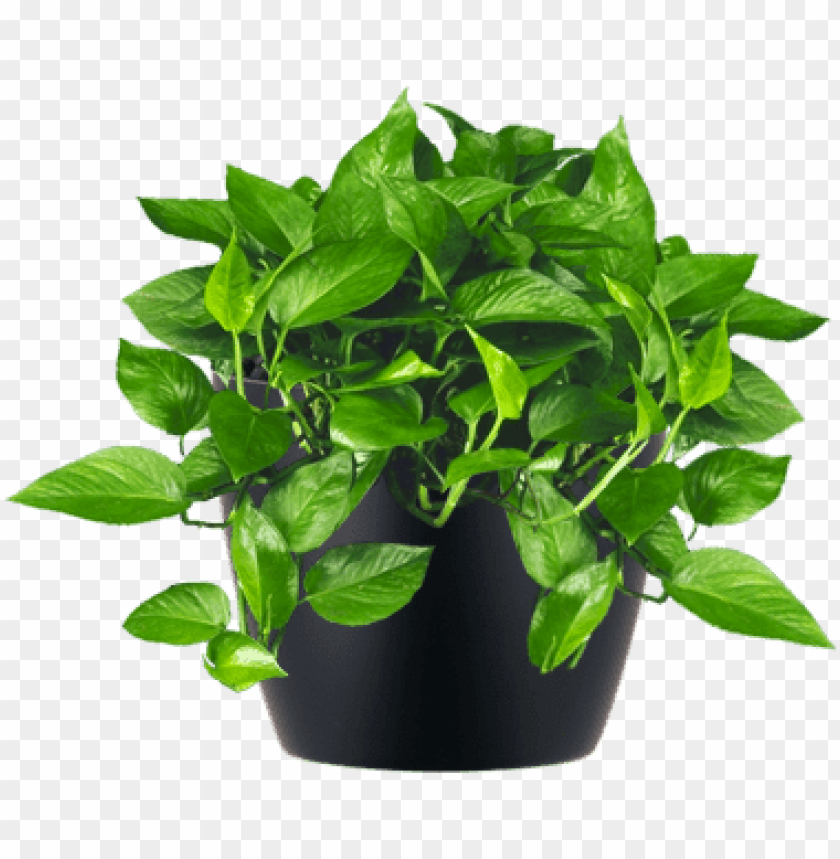 free PNG low-light interior plant jade pothos - small indoor plant PNG image with transparent background PNG images transparent