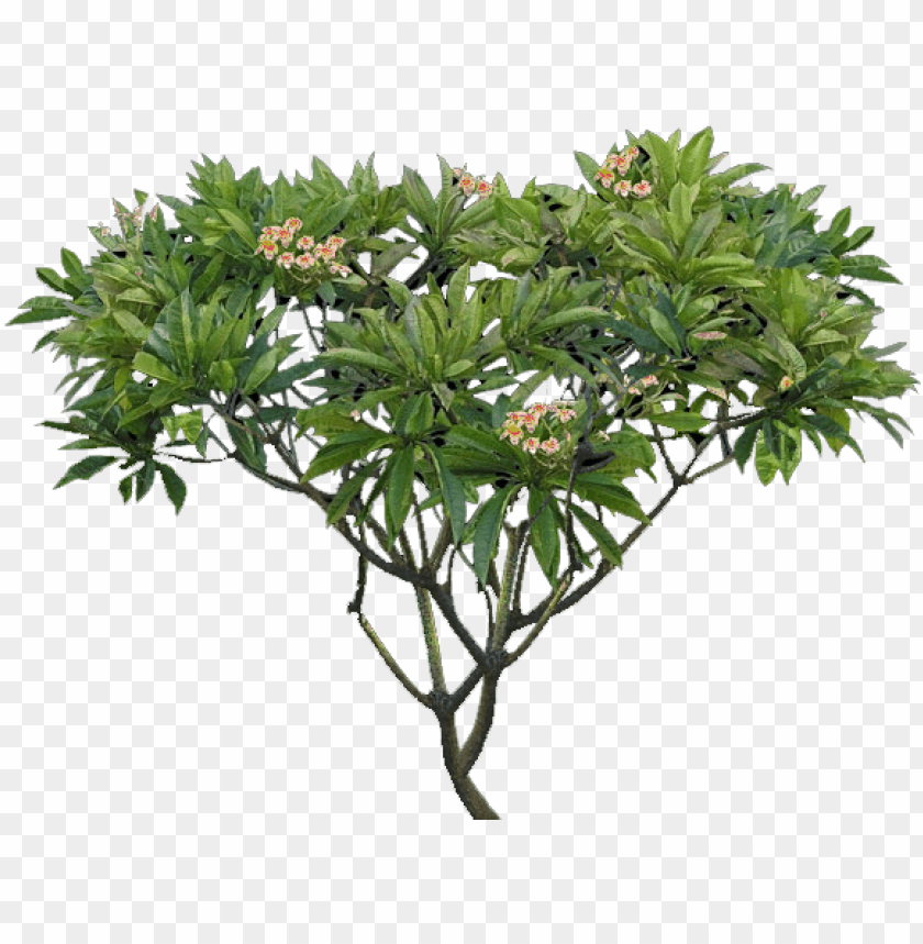 free PNG lumeria tree png - plumeria alba tree PNG image with transparent background PNG images transparent