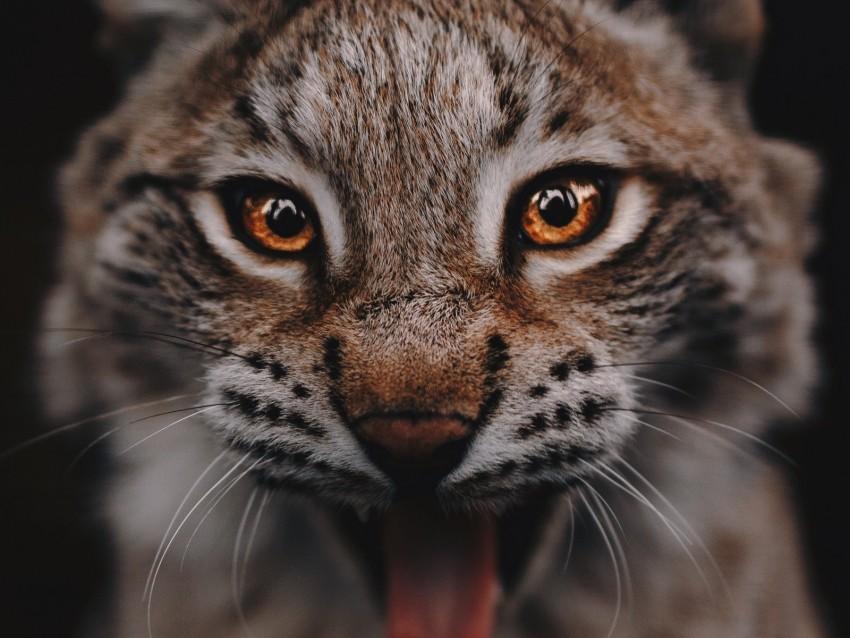 free PNG lynx, predator, big cat, glance, eyes background PNG images transparent