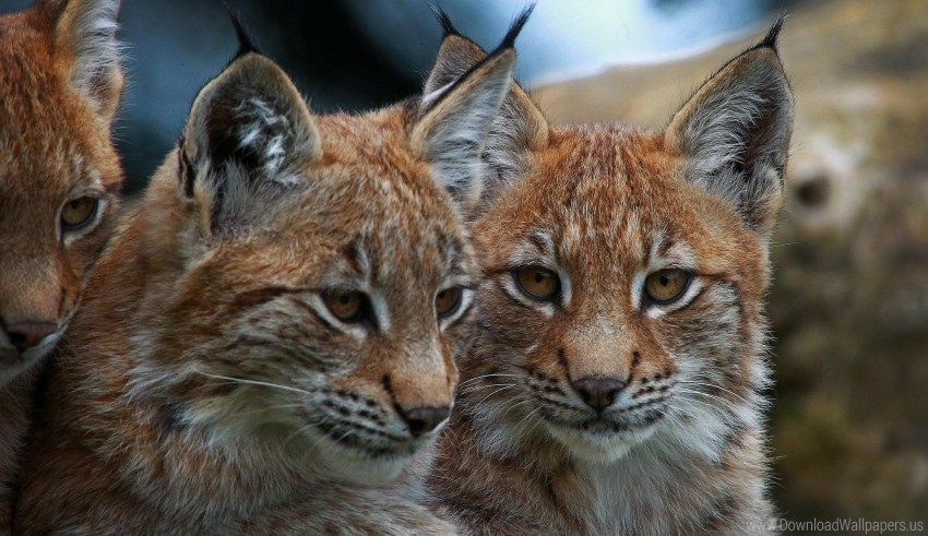 free PNG lynx, predator, wild cat wallpaper background best stock photos PNG images transparent