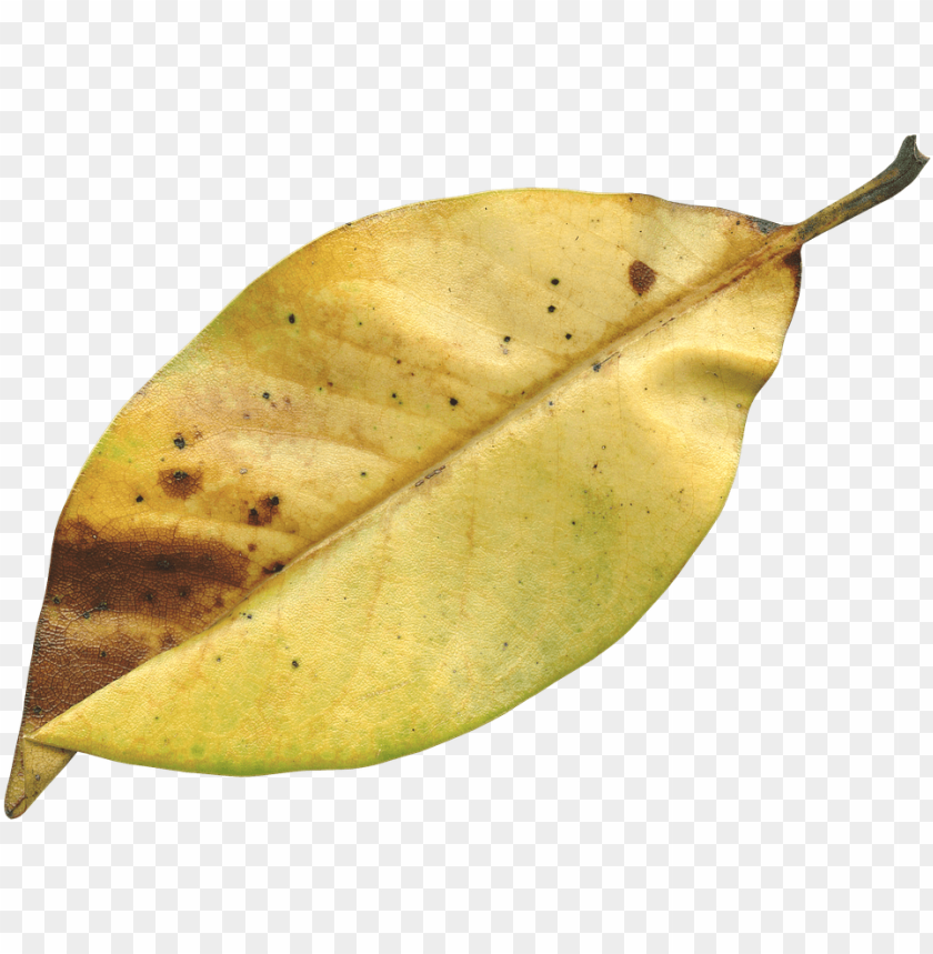 free PNG magnolia leaf, fall, autumn, season, nature, natural - dried leaf PNG image with transparent background PNG images transparent
