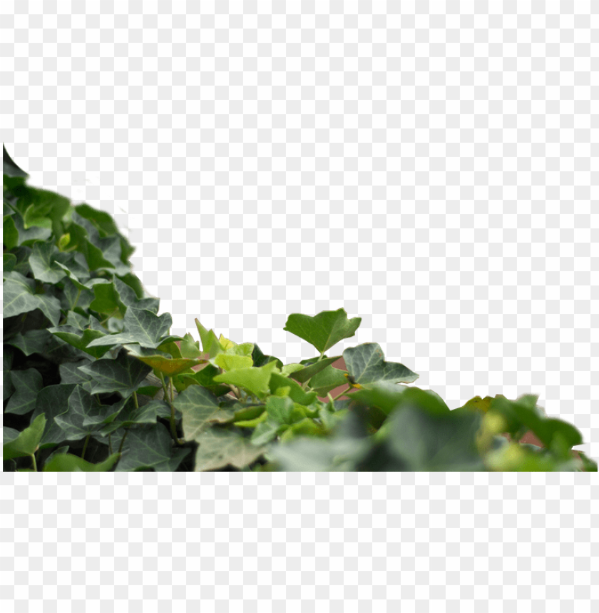 free PNG maple leaf PNG image with transparent background PNG images transparent