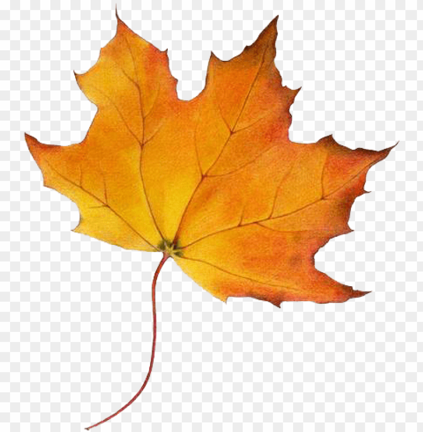 maple syrup tree leaf PNG image with transparent background@toppng.com
