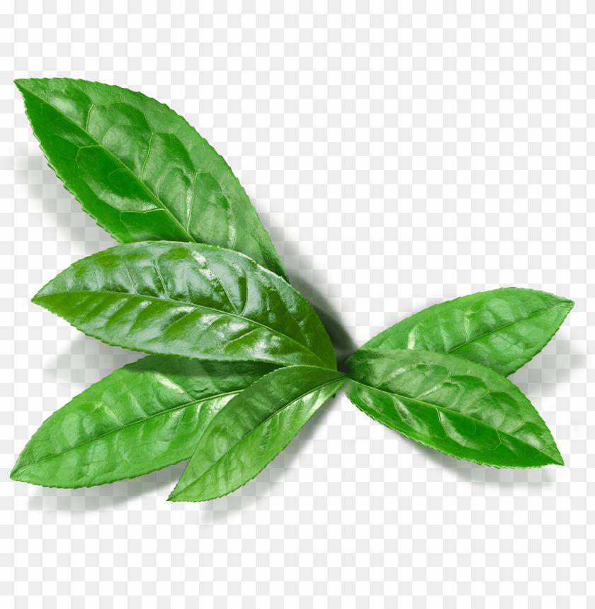 free PNG matcha leaf - matcha leaf PNG image with transparent background PNG images transparent