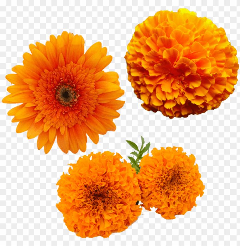 free PNG merigold flower, transparent merigold flower, yellow - zendu flower toran PNG image with transparent background PNG images transparent