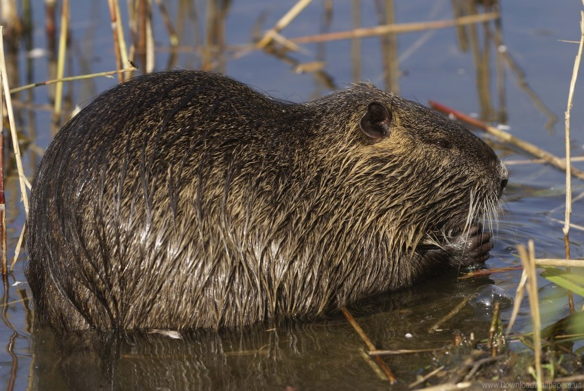 free PNG nutria, rodent, water wallpaper background best stock photos PNG images transparent