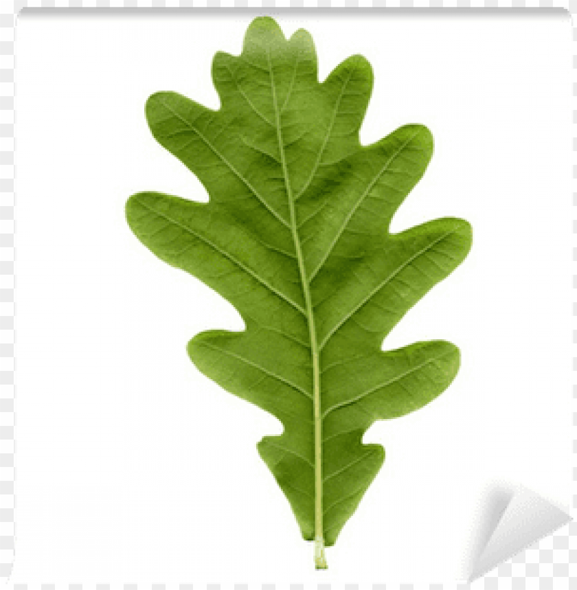 Oak Tree Leaf Png Image With Transparent Background Toppng