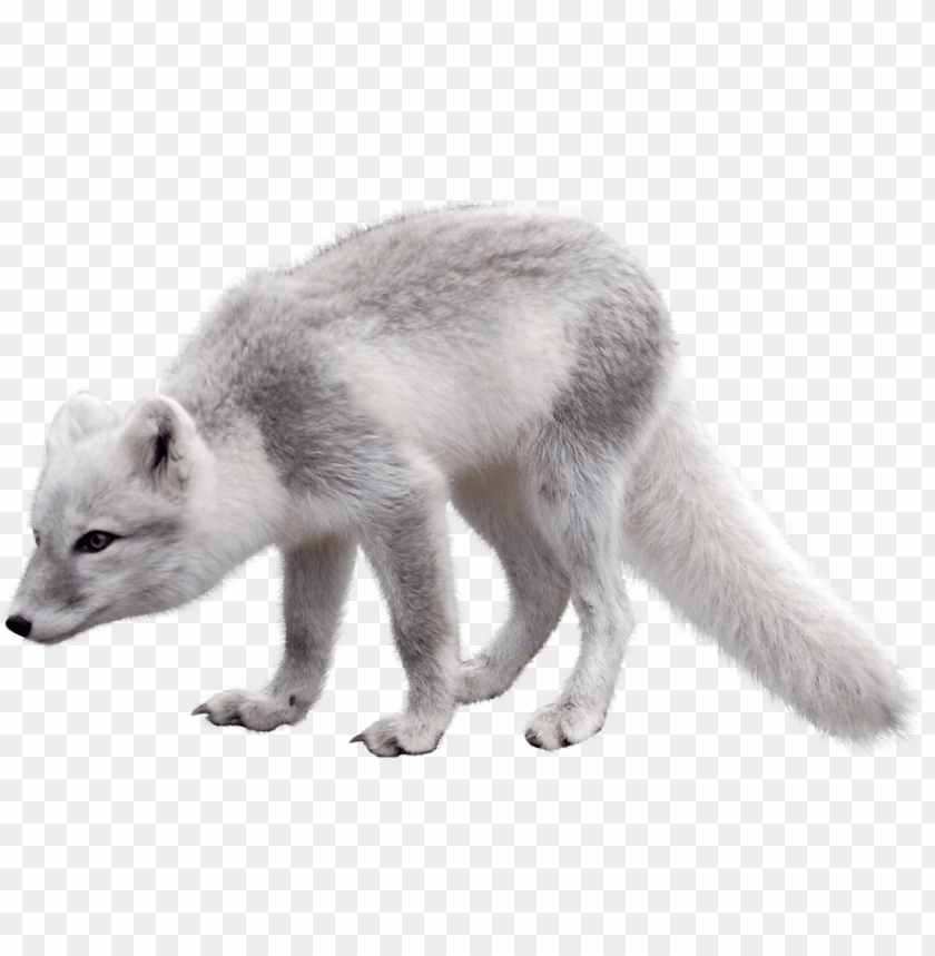 free PNG olar fox clipart artic - arctic fox PNG image with transparent background PNG images transparent