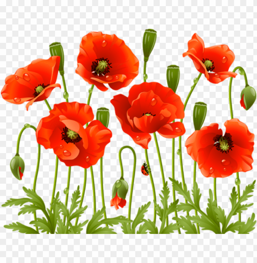 free PNG oppy flowers, red poppies, spring flowers, large flowers, - red poppy flower PNG image with transparent background PNG images transparent
