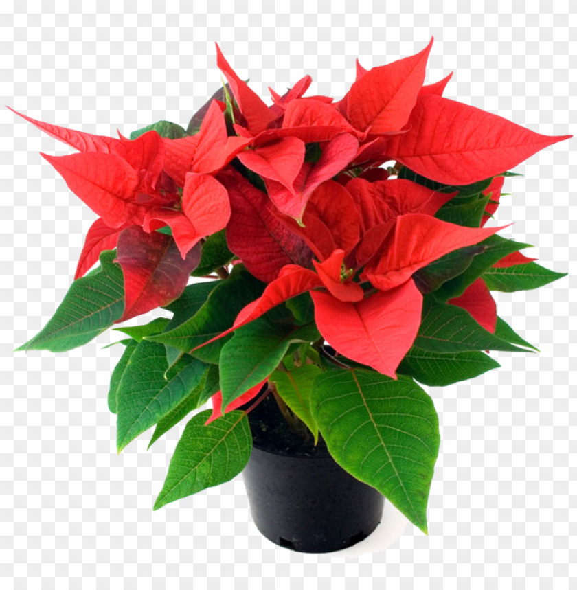 Order Your Beautiful Nursery Quality Poinsettias Now Poinsettia Plant In Bangalore Png Image With Transparent Background Toppng