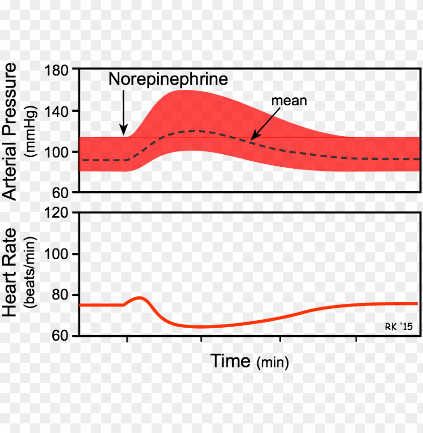 free PNG orepinephrine effects on blood pressure and heart - effect of noradrenaline on heart rate PNG image with transparent background PNG images transparent