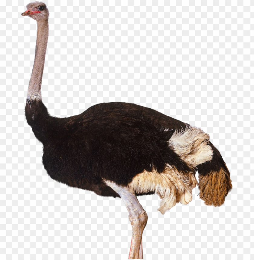 free PNG ostrich png clipart - ostrich PNG image with transparent background PNG images transparent