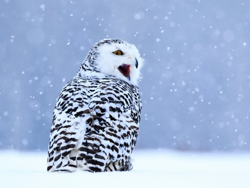 free PNG owl, white owl, polar owl, bird, snow, winter background PNG images transparent