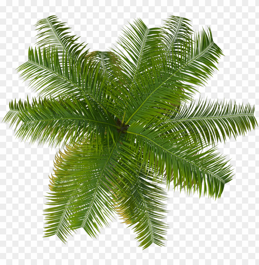 free PNG palm tree top- palm tree top view png - Free PNG Images PNG images transparent