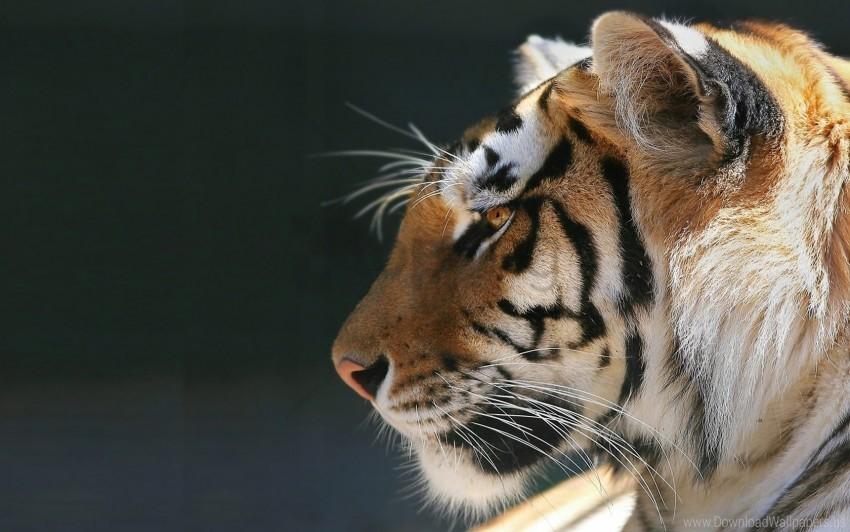 free PNG peace, pet, predator, tiger wallpaper background best stock photos PNG images transparent