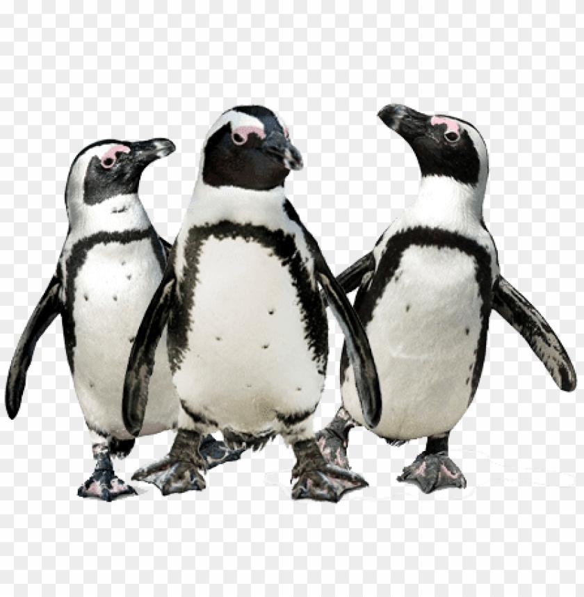 free PNG Download penguin trio png images background PNG images transparent