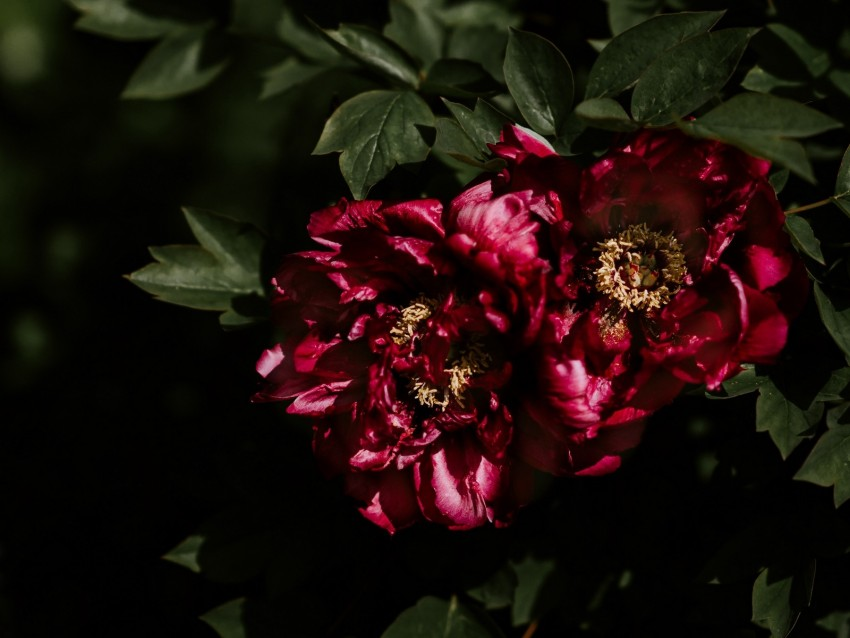 free PNG peonies, buds, bush, shadows, leaves background PNG images transparent