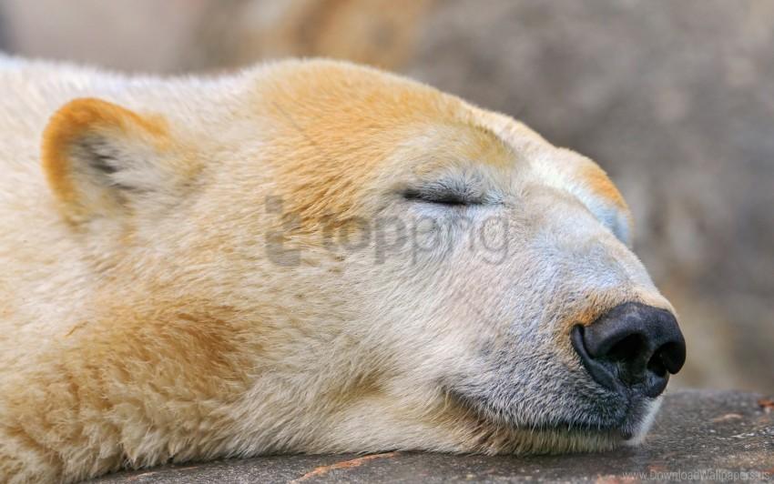 free PNG polar bear, sleeping, snout, snow wallpaper background best stock photos PNG images transparent