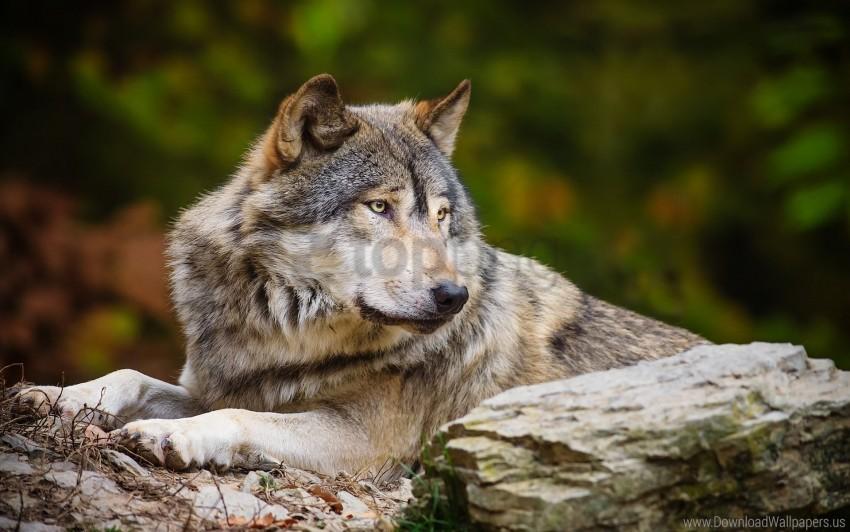 stone, wolf wallpaper background