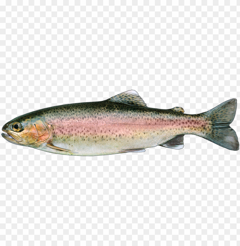 free PNG rainbow trout png - rainbow trout PNG image with transparent background PNG images transparent