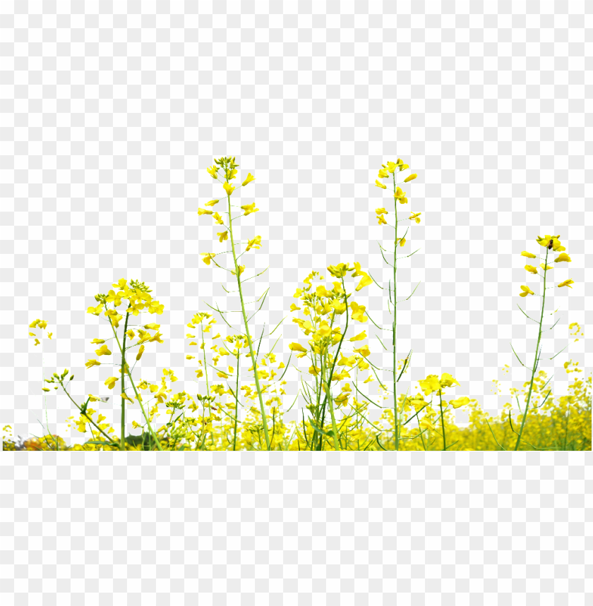 free PNG rapeseed flower field transparent decoration under - mustard yellow flower PNG image with transparent background PNG images transparent