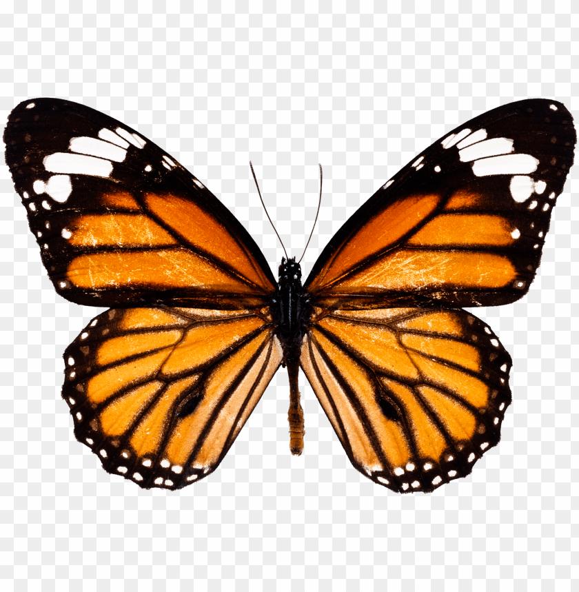 free PNG raphic transparent download monarch butterfly insect - monarch butterfly PNG image with transparent background PNG images transparent