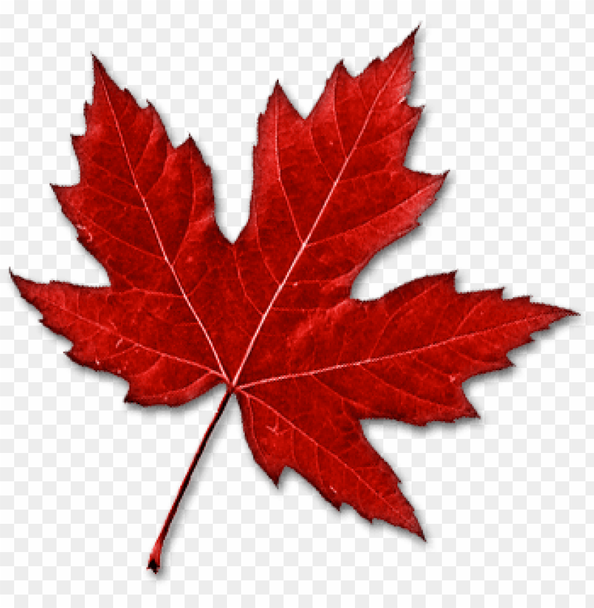 Real Canadian Maple Leaf Png Image With
