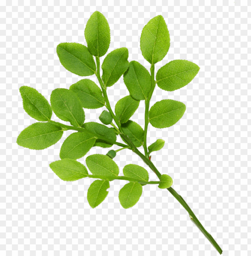 free PNG real leaves - leaves PNG image with transparent background PNG images transparent