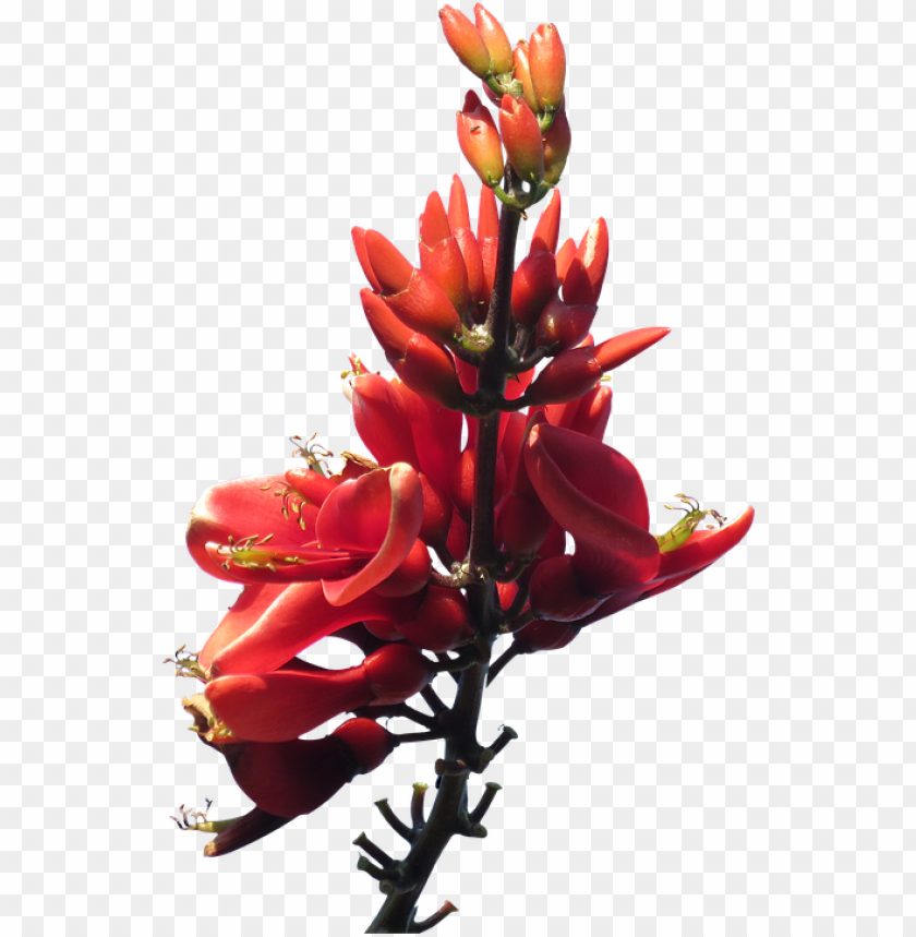 free PNG red flowers png pic - australian native plants transparent background PNG image with transparent background PNG images transparent
