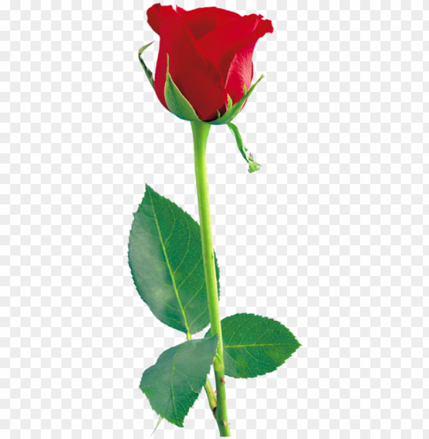 free PNG red rose png, red roses, rose flowers, beautiful flowers, - rose png hd PNG image with transparent background PNG images transparent