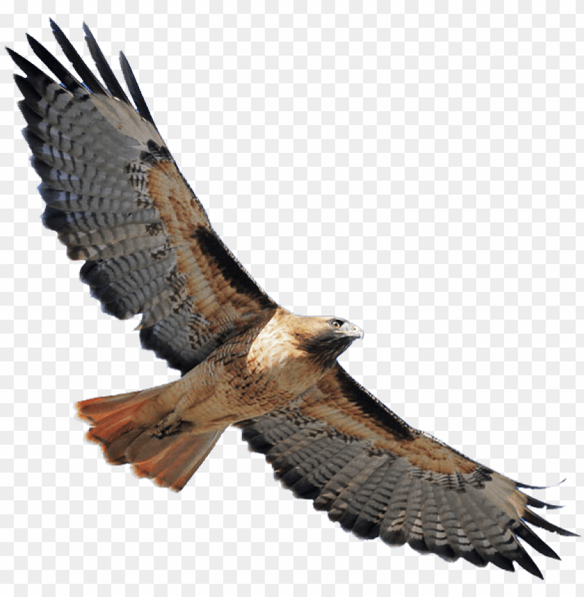 free PNG red shouldered hawk png banner stock - red tailed hawk transparent PNG image with transparent background PNG images transparent