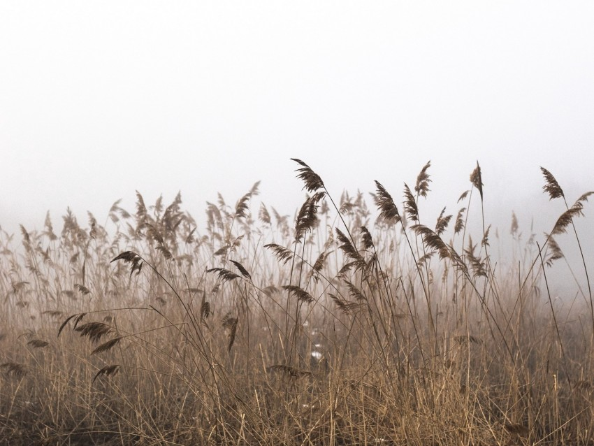 Reeds Fog Autumn Grass Dry Background Toppng