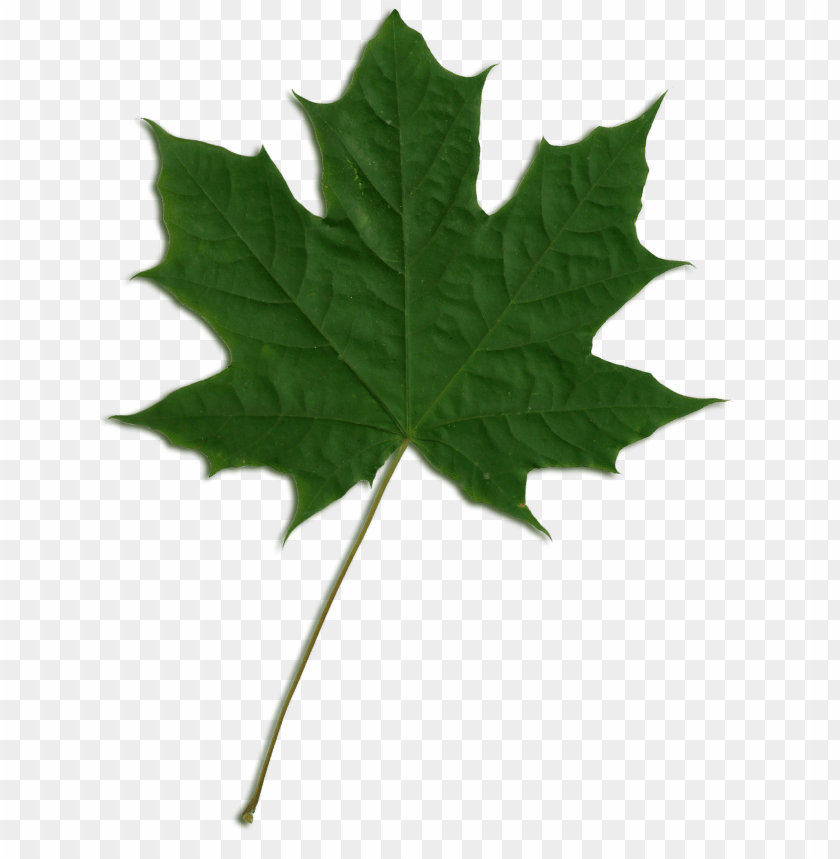 free PNG reen maple leaf png jpg royalty free download - maple leaf png gree PNG image with transparent background PNG images transparent