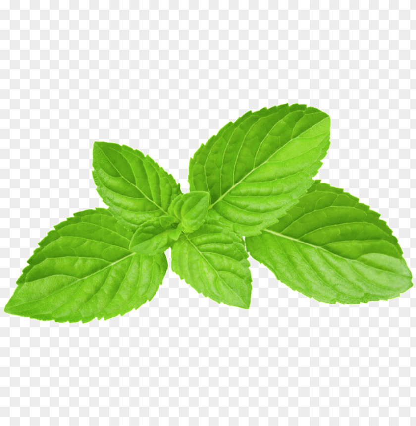 free PNG reen oil mint leaves transparent plant vector - mint leaves PNG image with transparent background PNG images transparent