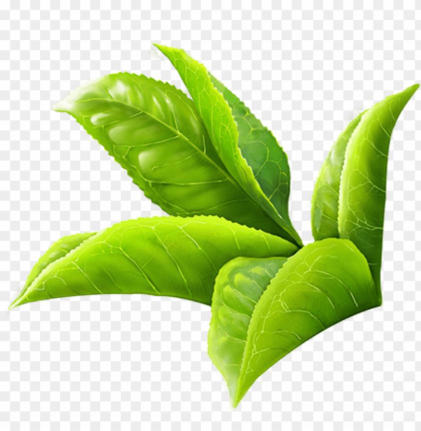 free PNG reen tea leaves png clipart freeuse - green tea leaf PNG image with transparent background PNG images transparent