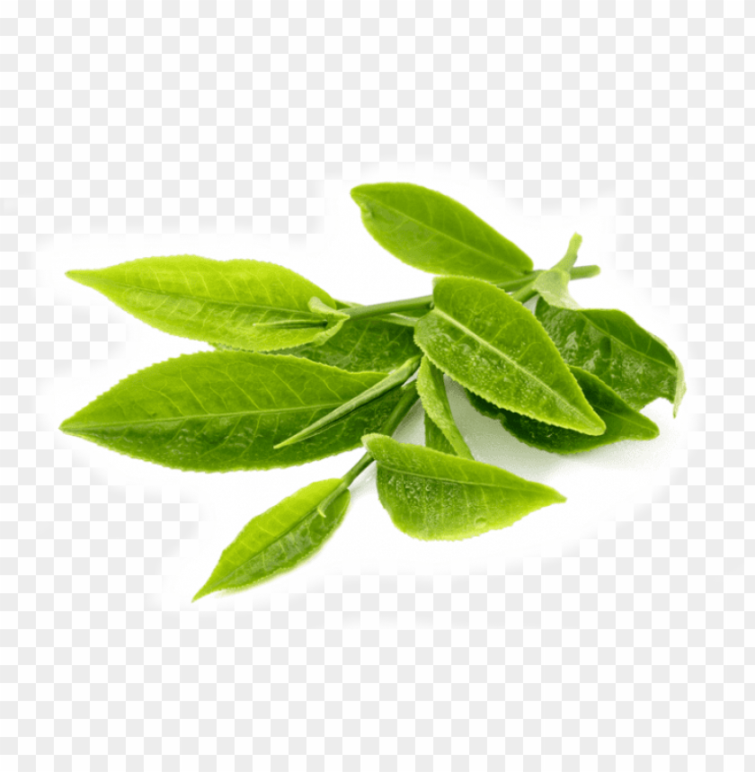 reen tea leaves transparent background PNG image with transparent background@toppng.com